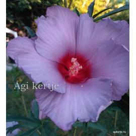 Mocsári hibiszkusz - Blue Brulée - Hibiscus moscheutos