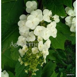 Tölgylevelű hortenzia - Hydrangea quercifolia