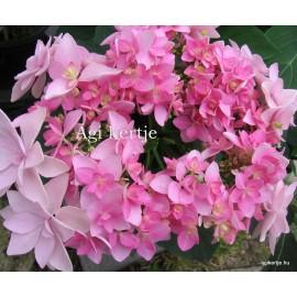 Hydrangea macrophylla - PASSION