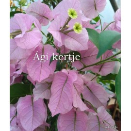 36- Kreppelt nagyvirágú rózsaszín -Show Lady - Murvafürt - Bougainvillea