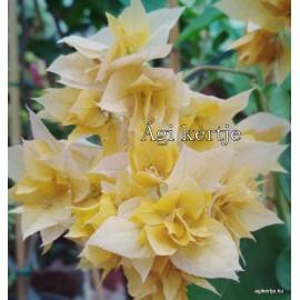 42 - Dupla sárga - Aussi Gold - Murvafürt - Bougainvillea