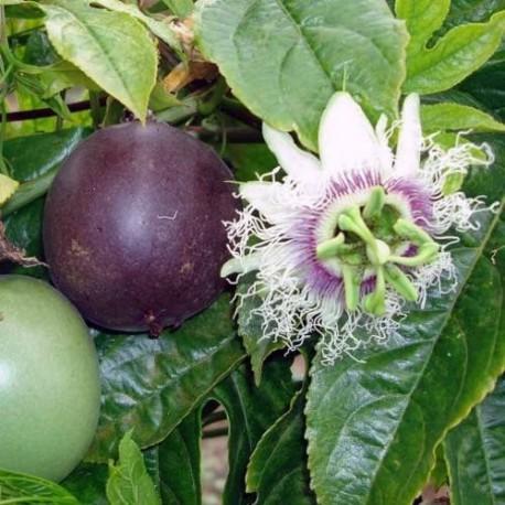 Passiflora edulis - Passiogyümölcs --Golgotavirág