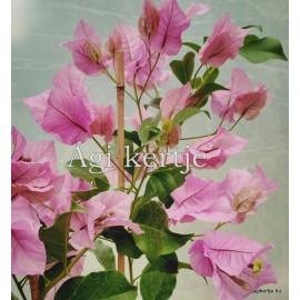 36- Kreppelt nagyvirágú rózsaszín - Show Lady - Murvafürt - Bougainvillea