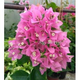 67 - Rózsaszín bugás - Murvafürt - Bougainvillea Vera Pink