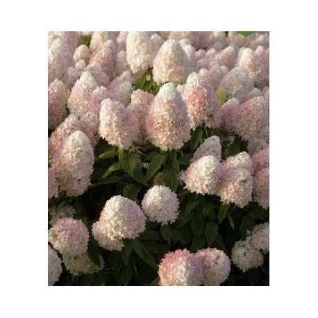 Hydrangea paniculata Sweet Summer