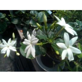 Jasminum sambac- Arab jázmin