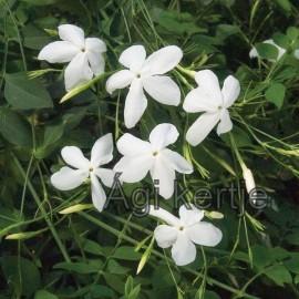Spanyol jázmin-Jasminum grandiflorum