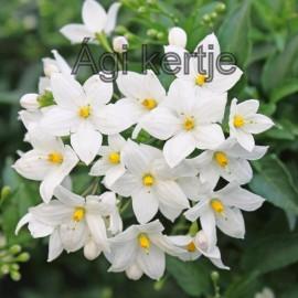 Csüngő jázmin, fehér - Solanum jasminoides