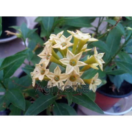 Cestrum aurantiacum-Orange cestrum