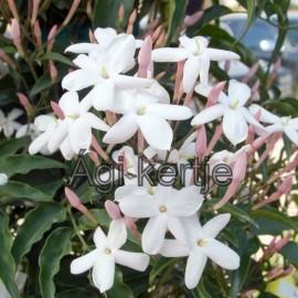 Jasminum polyanthum-Sokvirágú jázmin