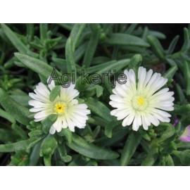 Kristályvirág - Delosperma - White Wonder - fehér