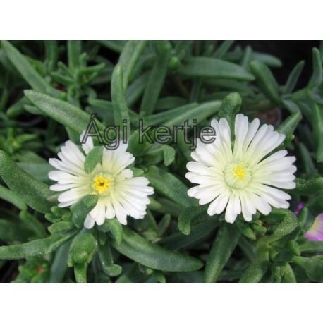 Delosperma-White-fehér