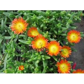 Delosperma-Orange wonder - narancs