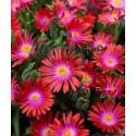 Kristályvirág-Delosperma Garnet-piros