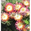 Kristályvirág-Delosperma Ruby-barackos-narancsos