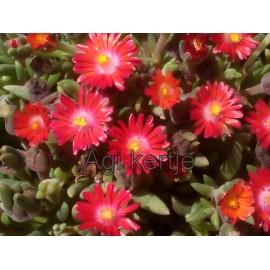 15 - Kristályvirág - Delosperma Grenade-gránát vörös
