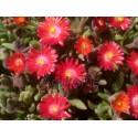 Kristályvirág-Delosperma Grenade-gránát vörös
