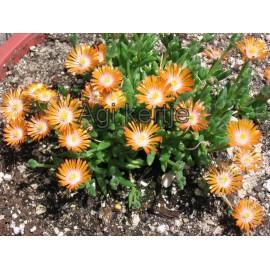 Kristályvirág-Delosperma Topaz-narancs