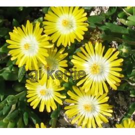 Delosperma-Peridot-sárga