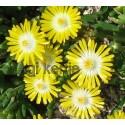 Kristályvirág-Delosperma Peridot-sárga, fehér középpel