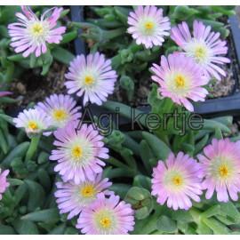 9 - Kristályvirág - Delosperma Rosequarz-rózsaszín