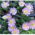 Kristályvirág-Delosperma Rosequarz-rózsaszín