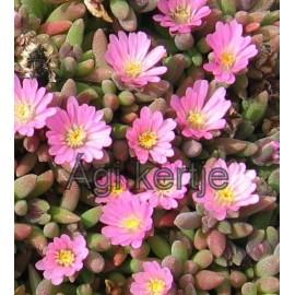 Delosperma-Beaufort beauty-kicsi rózsaszín