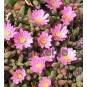 Kristályvirág-Delosperma Beaufort West-kicsi rózsaszín