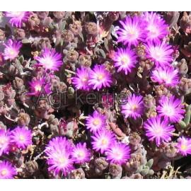 7 - Kristályvirág - Delosperma luckhoffi- lilás rózsaszín