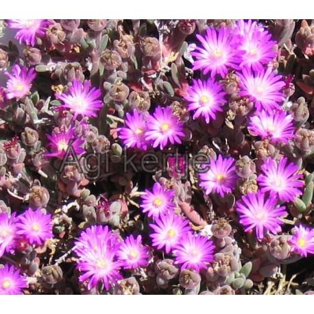 Delosperma-Kicsi lila