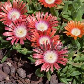 18 - Kristályvirág - Delosperma dyeri Red Montain-piros nagyvirágú