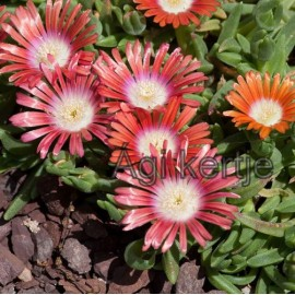 Kristályvirág-Delosperma dyeri Red Montain-piros nagyvirágú