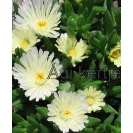 Delosperma-White Nuggets-fehér nagyvirágú