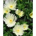 Kristályvirág-Delosperma White Nugget-fehér nagyvirágú