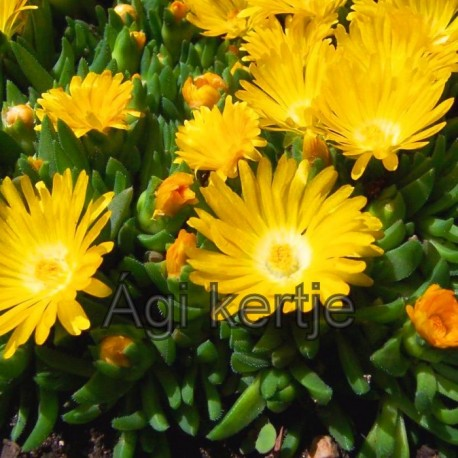 Delosperma-Gold Nuggets-sárga nagy virágú