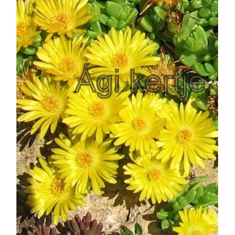 Delosperma-Nubigeum-sárga