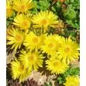 Kristályvirág-Delosperma nubigeum-sárga