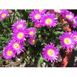 Delosperma-lila, nagyvirágú