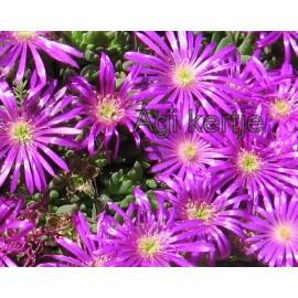 Kristályvirág-Delosperma-lila,zöld közepű