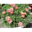 Kristályvirág-Delosperma Mesa Verde-barack nagyvirágú