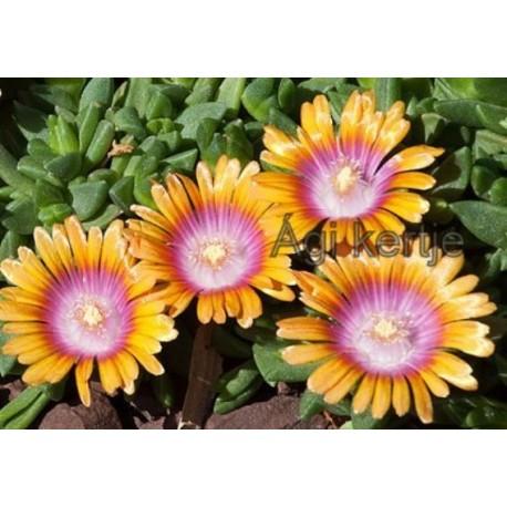 Delosperma-Fire spinner-nagyvirágú narancs-lila központ