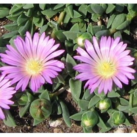 Kristályvirág-Delosperma Pink Zulu-rózsaszín nagyvirágú