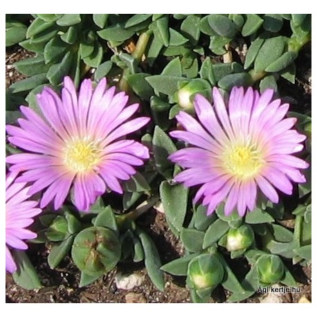 Delosperma-Pink Zulu-rózsaszín nagyvirágú