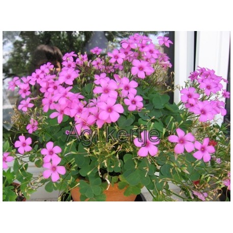 Oxalis articulata, rózsaszín