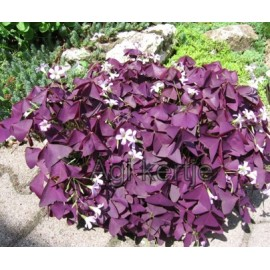 Oxalis triangularis 'Mike'