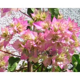 1-Rózsaszín-lime pagoda