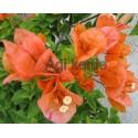 2-Aranysárga-rózsaszín-Murvafürt-Bougainvillea