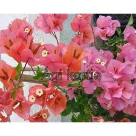 Bougainvillea-8-Narancs-rózsaszín
