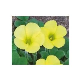 Oxalis , sárga