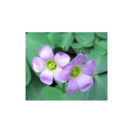 Oxalis, lila ( latifolia?)